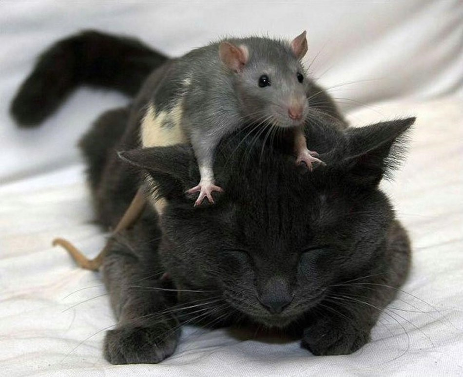 черная кошка и мышка