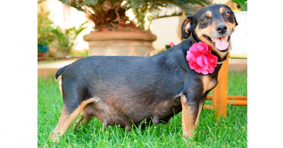 Беременная собака фото