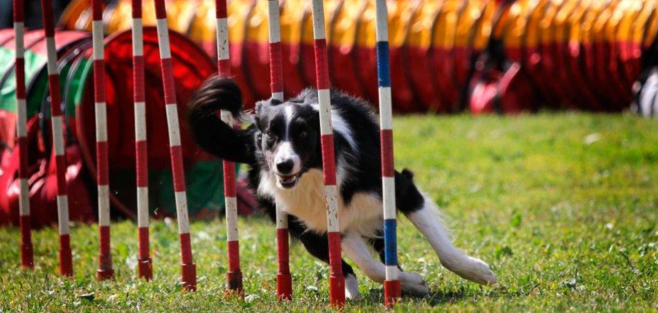 Аджилити для собак фото