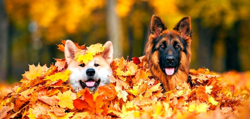 Две собаки в опавших листьях