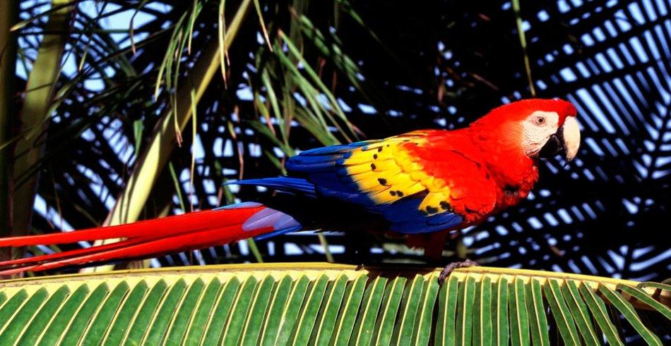 Красный ара макао