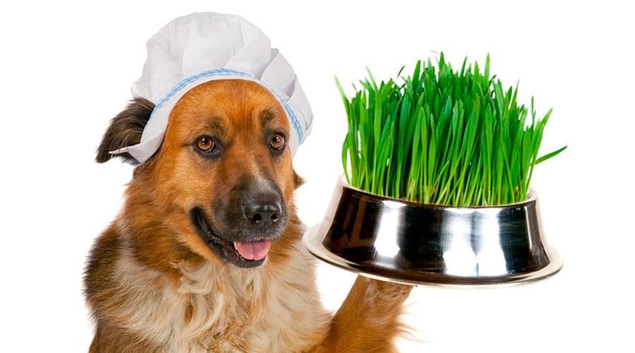Собака ест траву фото