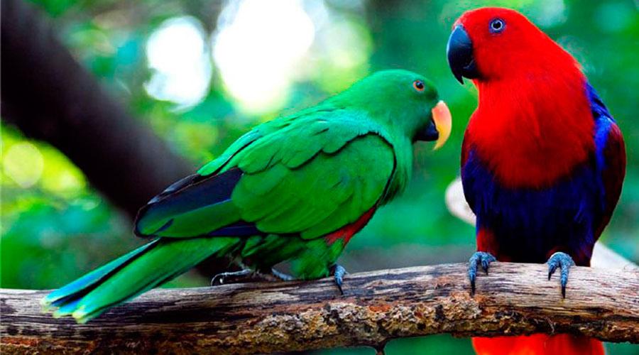 Эклектусы самец и самка