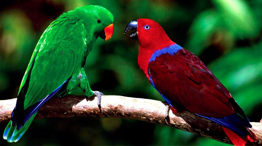 Благородный попугай эклектус