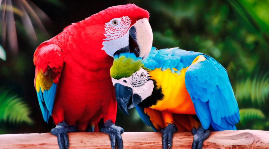 пара попугаев ара