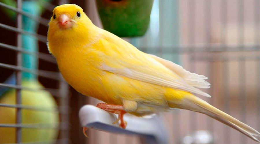 желтая канарейка певчая