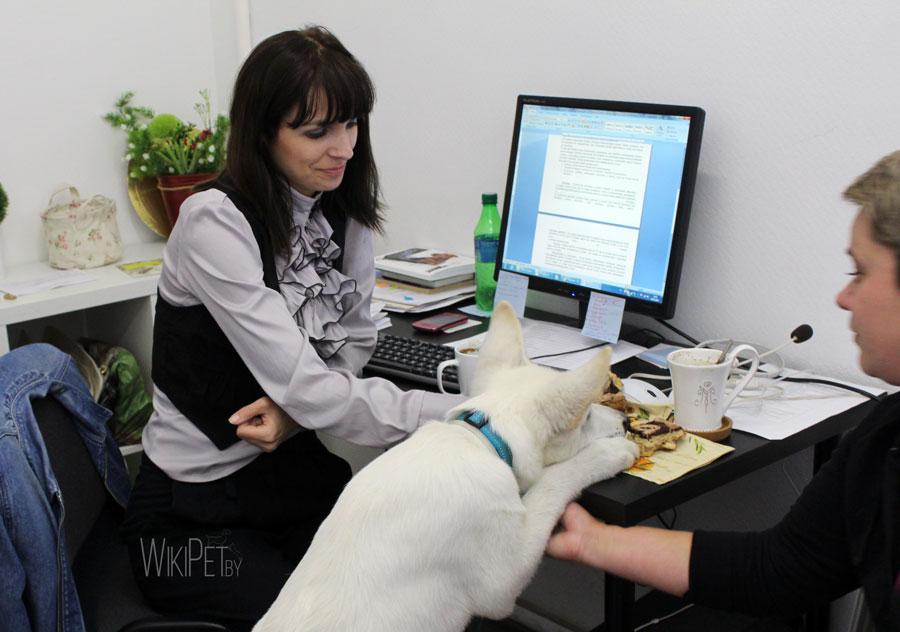 Белая швейцарская овчарка в офисе