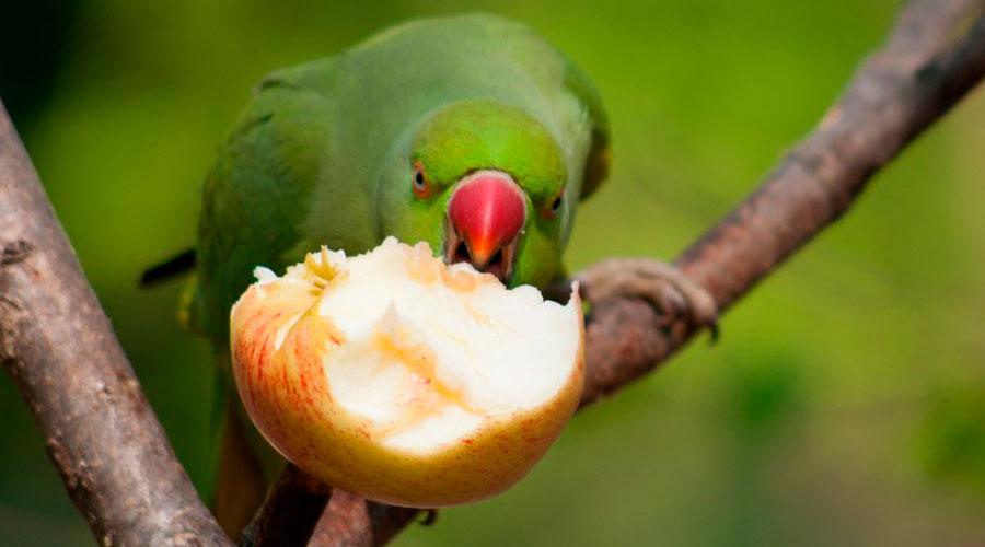 Фрукты и овощи для попугая фото