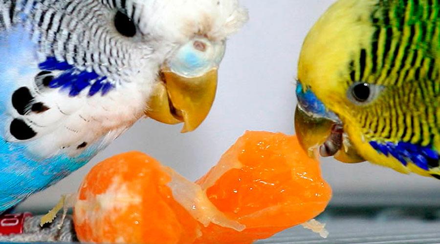 Попугай ест мандарин фото