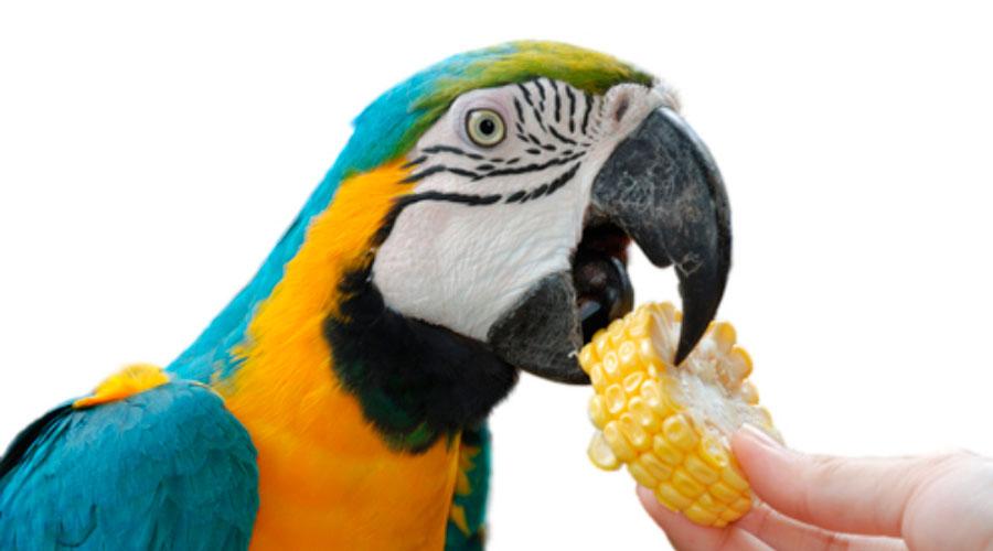 Попугай ест кукурузу фото