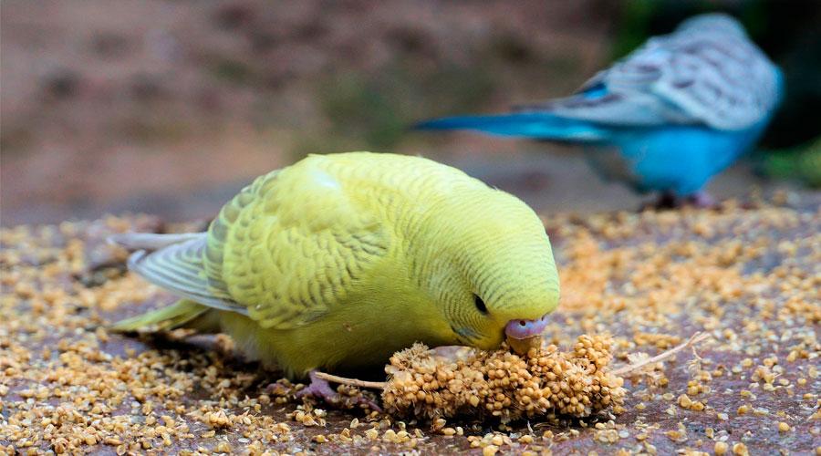 Попугай ест зерно