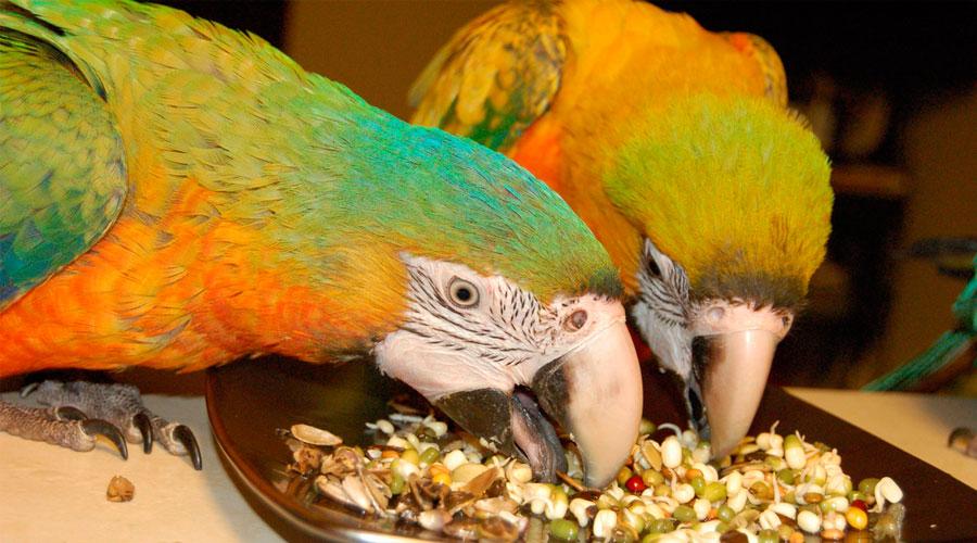 Каши и зерновые для попугаев фото