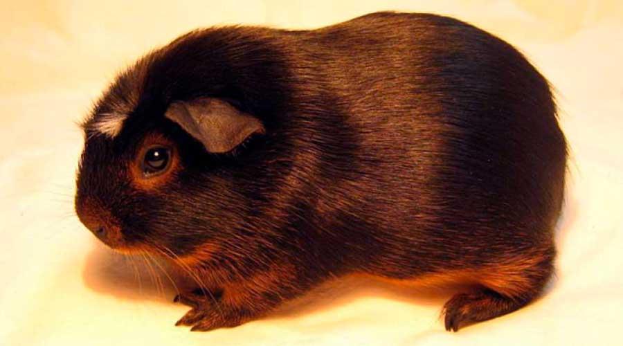Сатиновая (атласная) морская свинка фото