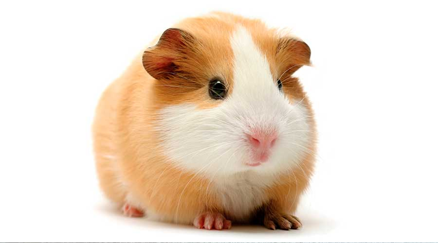 Гладкошерстная морская свинка фото