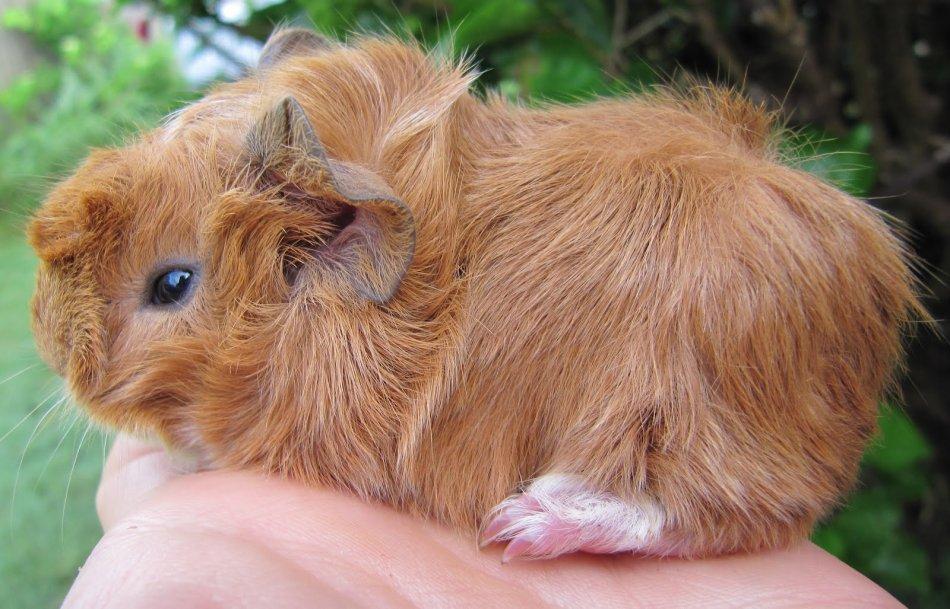 Розеточная морская свинка фото