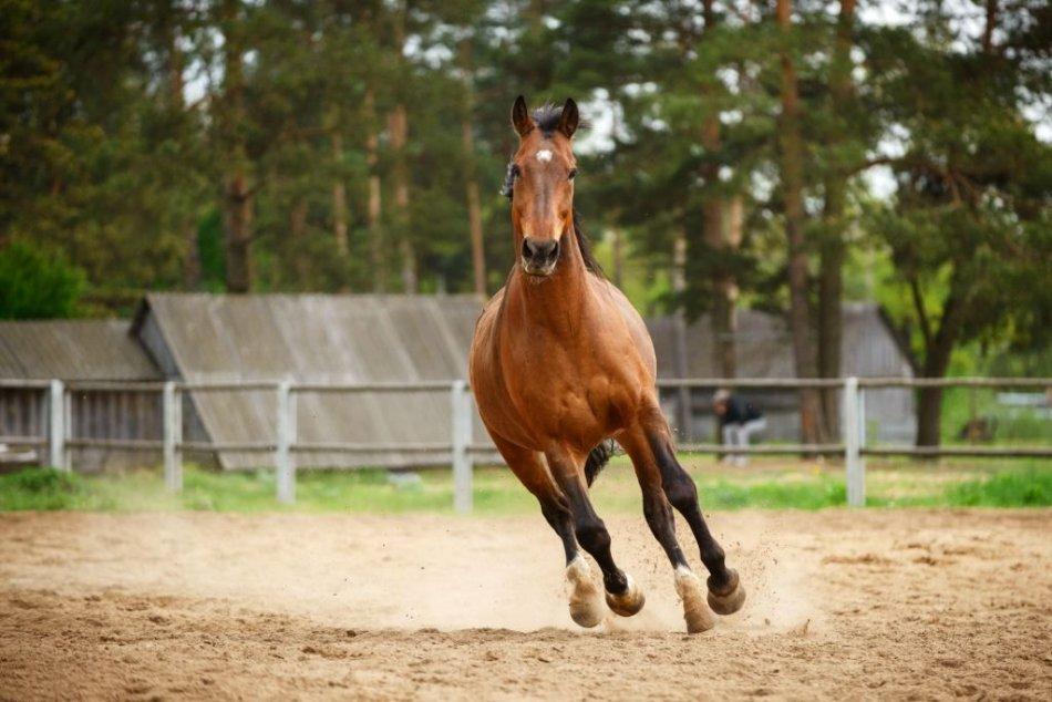 красивая гнедая лошадь мчится фото