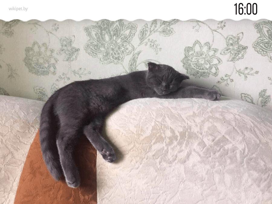 британский кот спит на диване