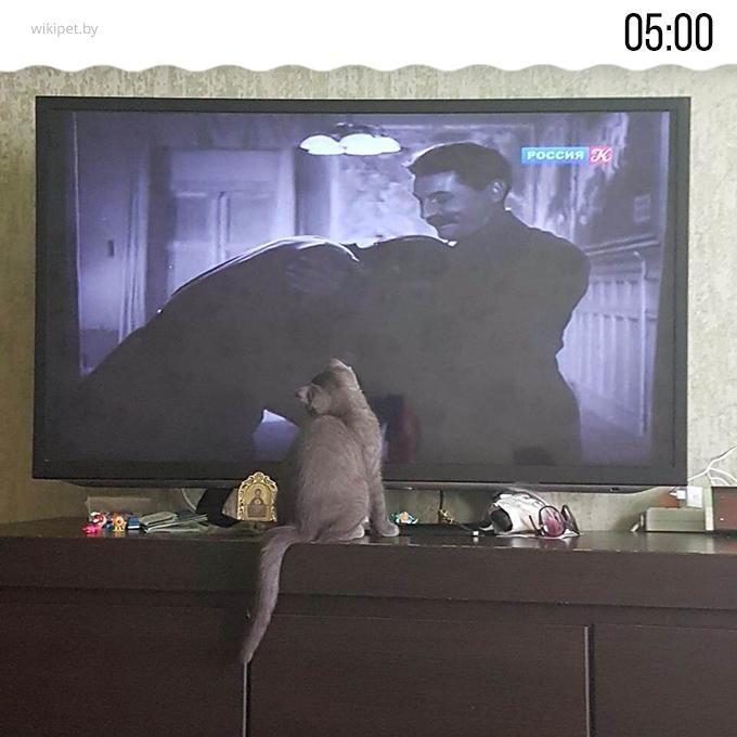кот смотрит телевизор