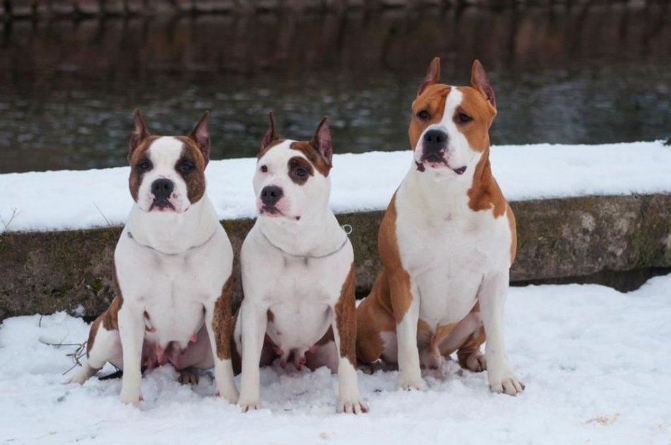 амстафф и другие собаки фото