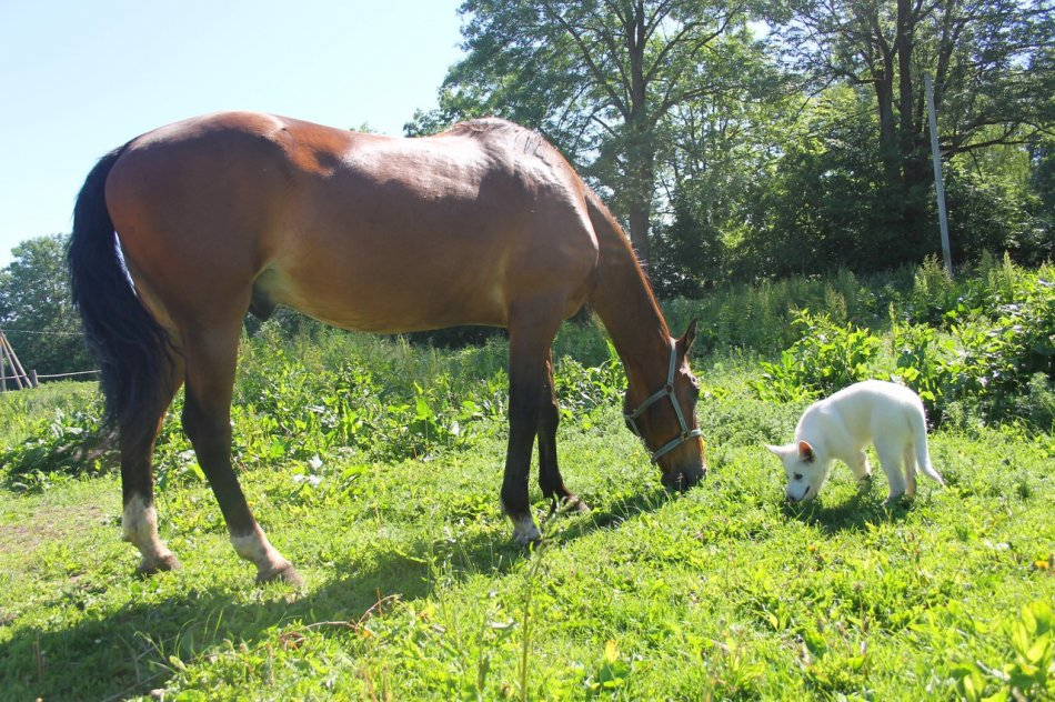 щенок белой швейцарской овчарки и лошадь