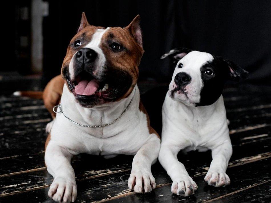 Амстафф взрослый и щенок фото