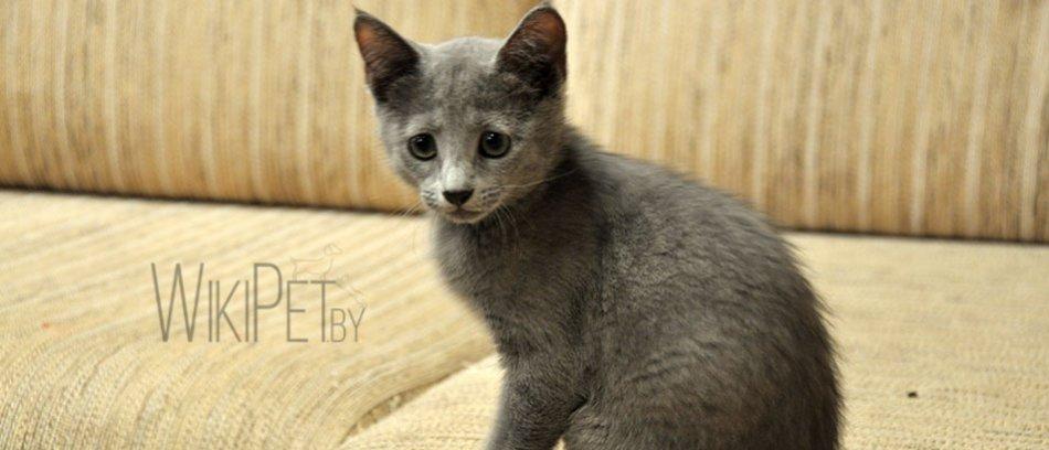 котенок русской голубой кошки фото