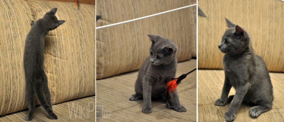 котенок русской голубой кошки игривый фото
