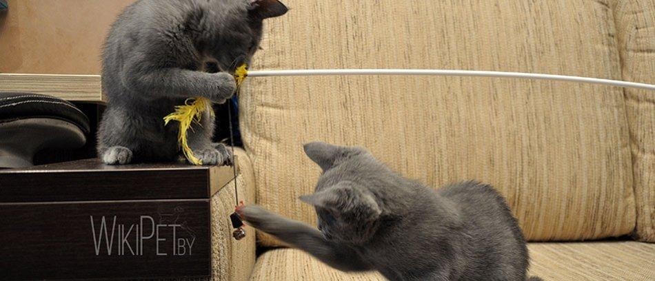 котята русской голубой кошки играют фото