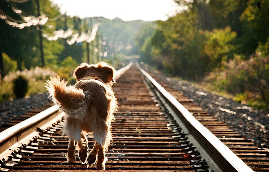 собака на железной дороге фото