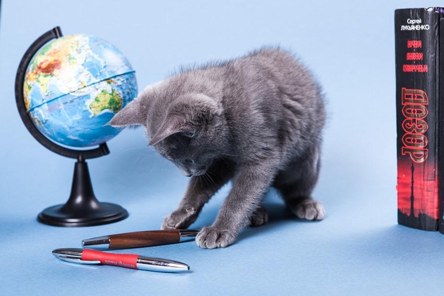 котенок русской голубой кошки играет фото