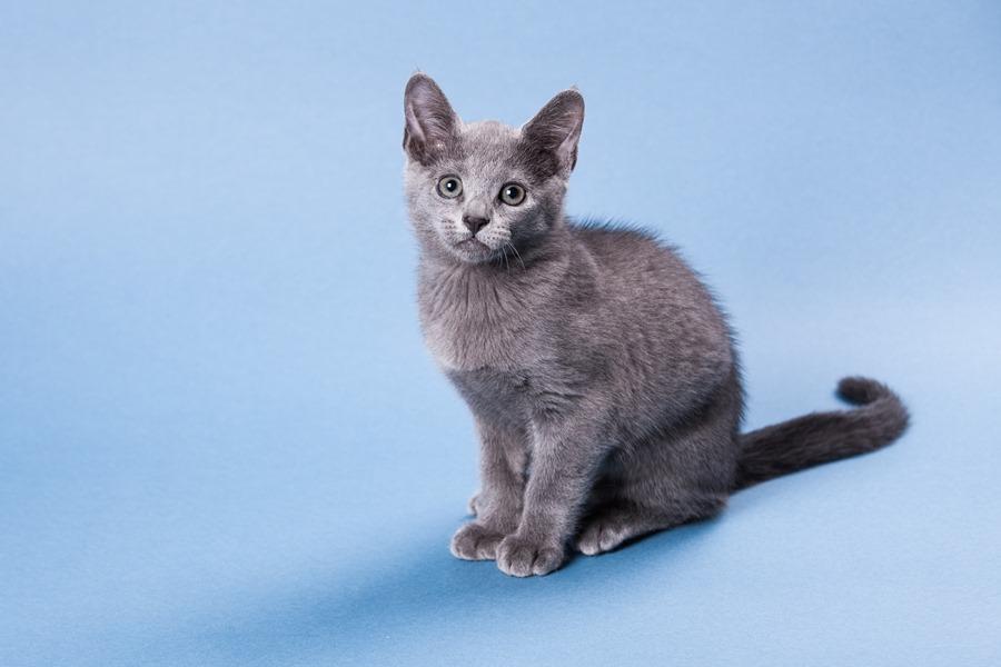 красивый котенок русской голубой кошки