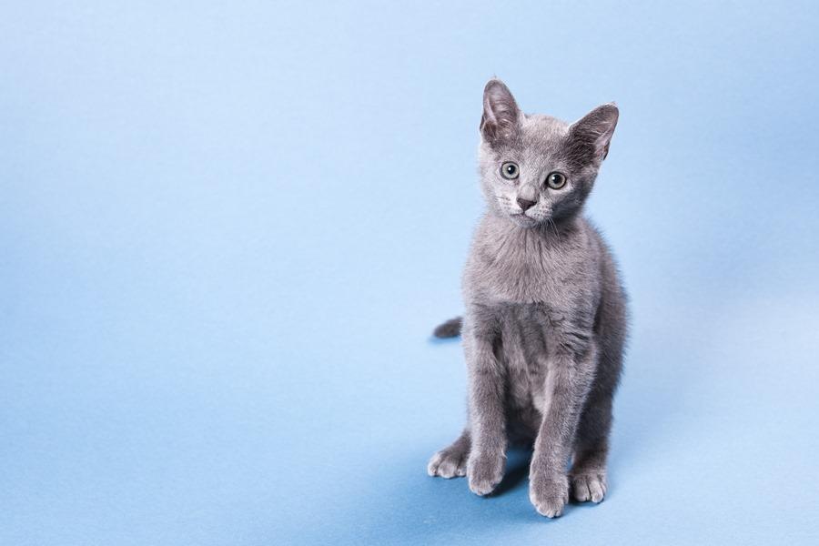как выглядит русская голубая кошка фото
