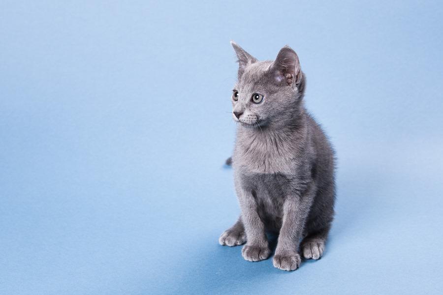 очаровательный котенок русской голубой кошки фото