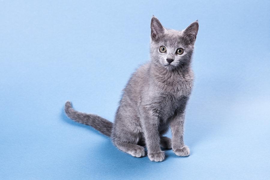 русская голубая кошка фотосессия