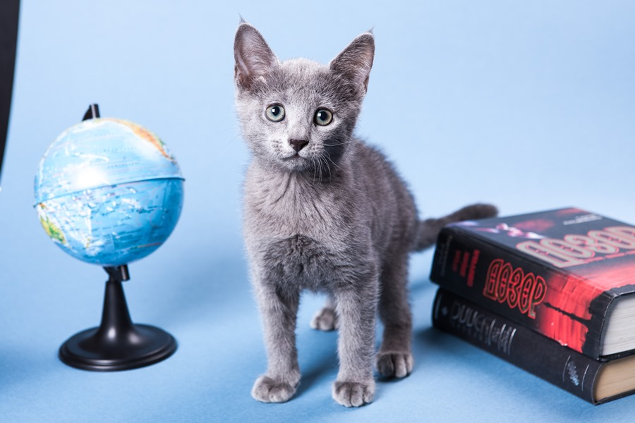 русская голубая кошка в квартире фото