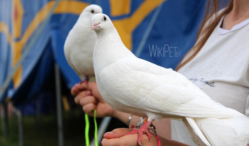 Цирковые голуби