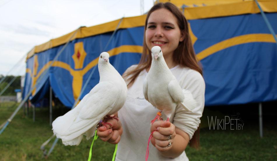 Белые цирковые голуби