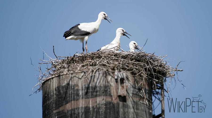 три аиста сидят в гнезде