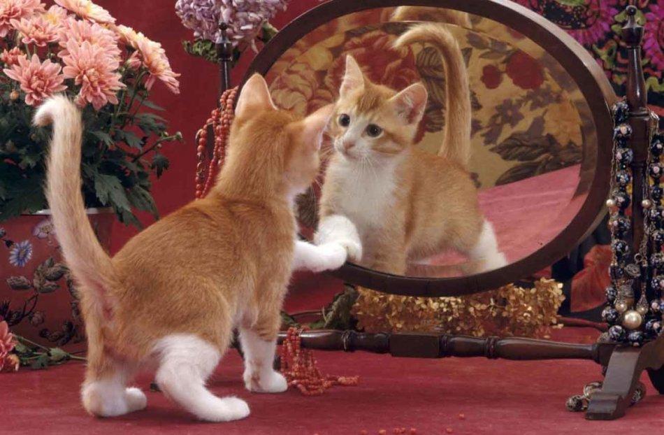Котенок смотрится в зеркало фото