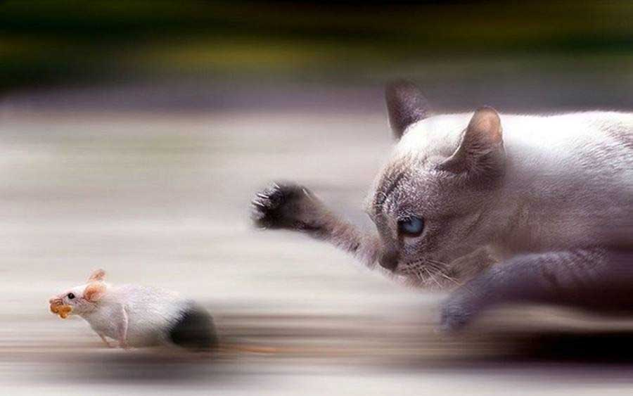 кошка гонится за мышью