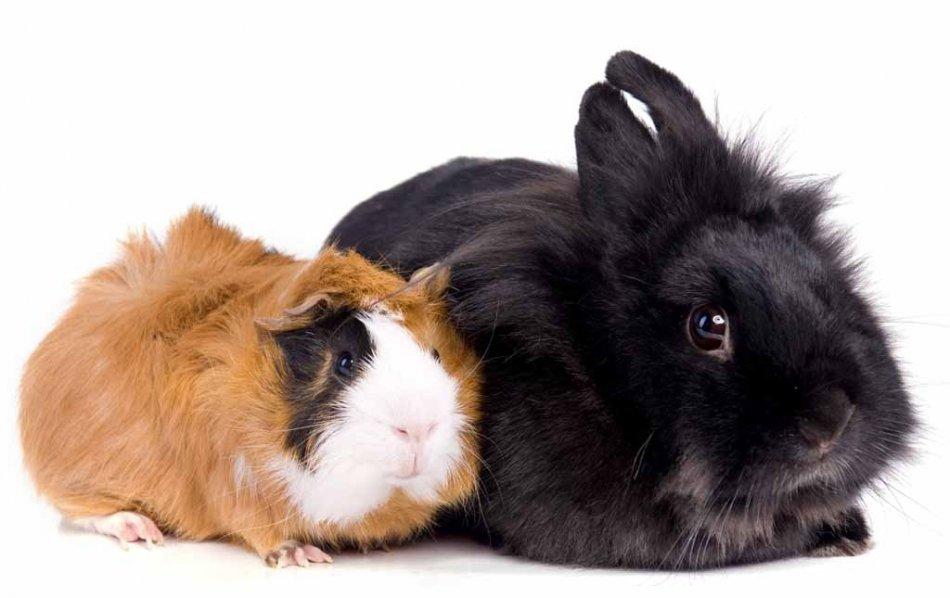 Морская свиинка и кролик фото