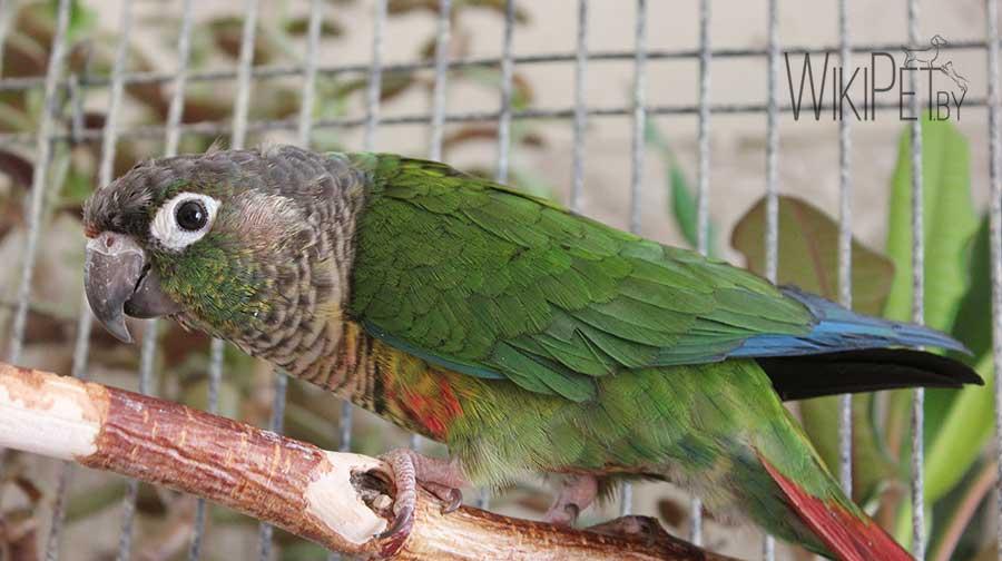 пиррура попугай на ветке