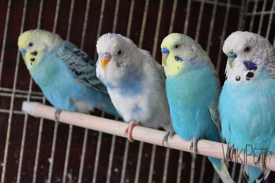волнистые попугаи на жердочке
