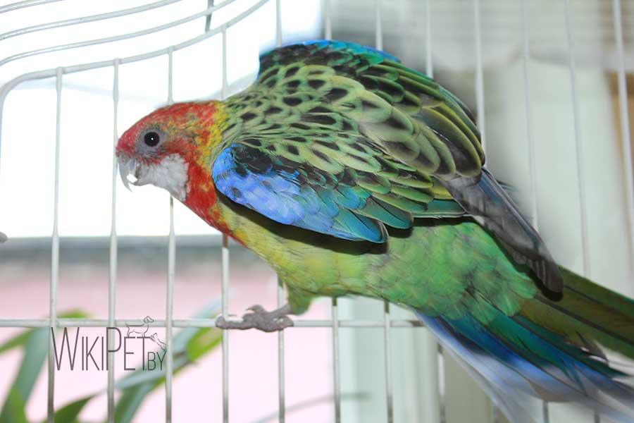 попугай розелла в клетке