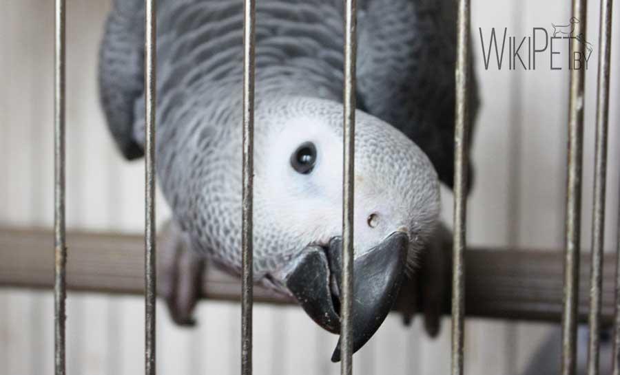 попугай жако в клетке