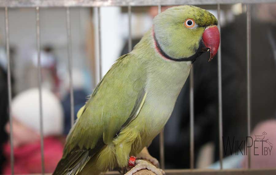 ожереловый попугай в клетке