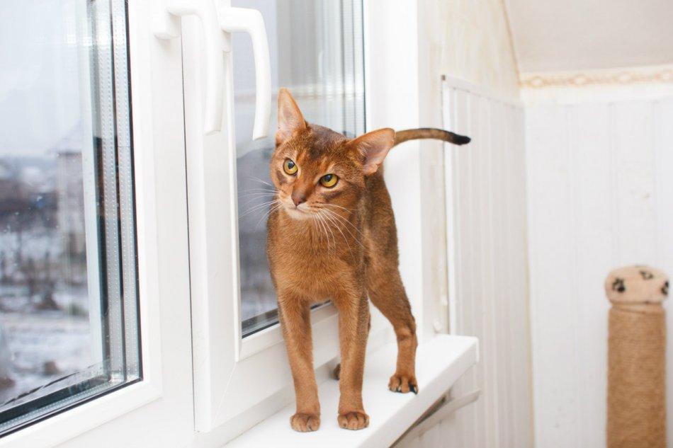 абиссинская кошка на подоконнике фото