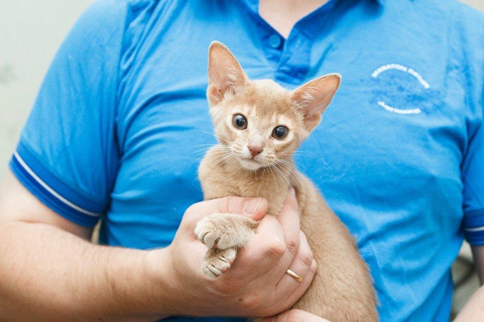 абиссинская кошка на руках