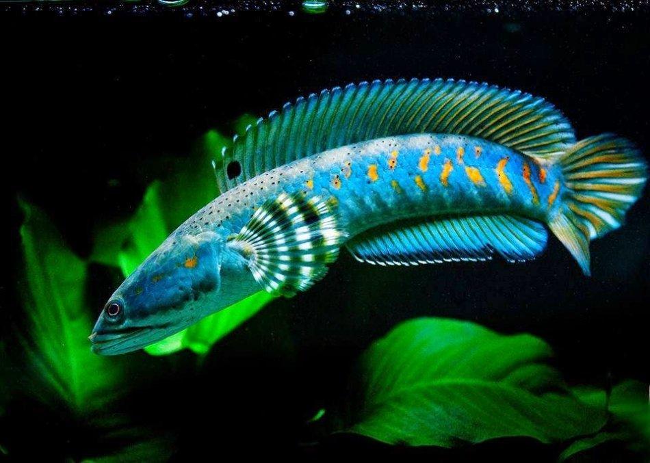 Экзотические рыбы в аквариуме фото