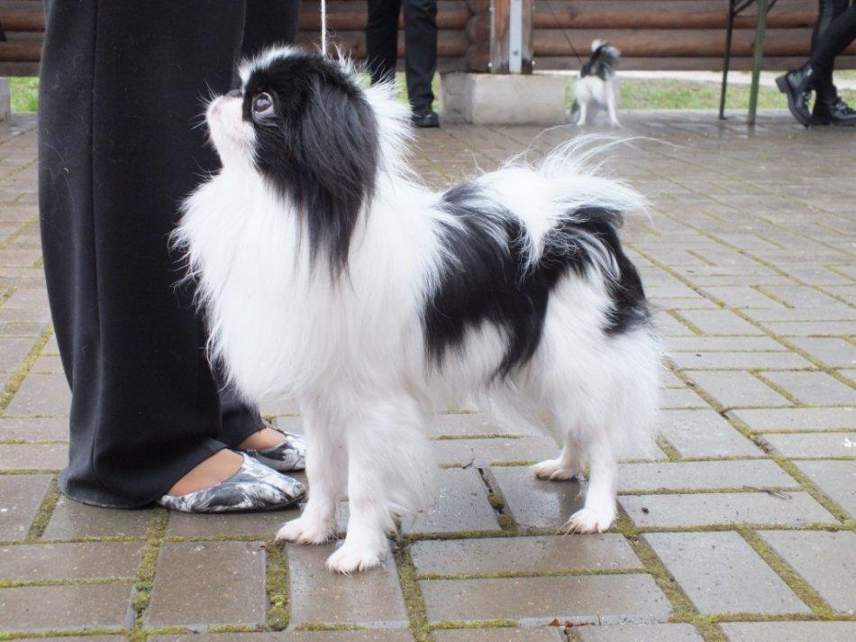 Японский хин собака фото